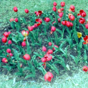 Tulips at the Tulip Farm, Springbrook Road, Springbrook, Queensland, circa 1960s Fred Chapman, photographer