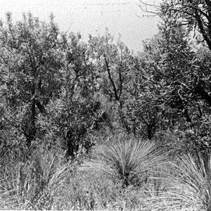 Wallum Banksia, Pine Ridge Reserve, circa 1970s. Photographer unknown