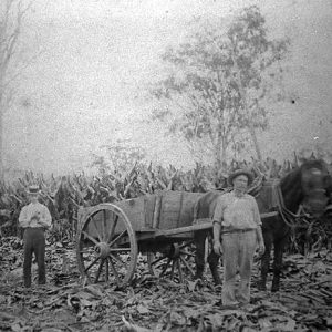Stewart family working in a patch of arrowroot, Ormeau, 1915. Photographer unknown